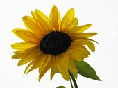 image of sunflower  - Yellow sunflower with black sunflower seeds on a white background - JPG