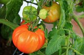 stock photo of grown up  - Huge home grown tomato in Europe  - JPG
