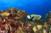 picture of angelfish  - Emperor Angelfish - JPG
