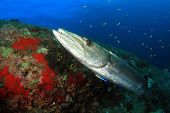 image of barracuda  - Great Barracuda at cleaning station with cleaner wrasse  - JPG