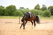 picture of horse-breeding  - Brown latvian breed horse playfully bucking on longe line