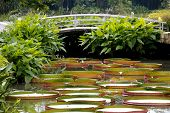 foto of choke  - A bridge across a waterway choked with giant water lily pads - JPG