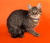 picture of yellow tabby  - Tabby kitten with yellow eyes in blue collar lying on orange background - JPG