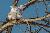 pic of snowy owl  - Snowy owl in a tree getting ready to fly - JPG