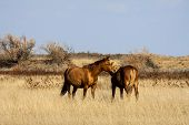 stock photo of steppes  - Steppe horses grazing in the Kalmyk steppe autumn - JPG