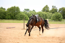 image of bucks  - Brown latvian breed horse playfully bucking on longe line