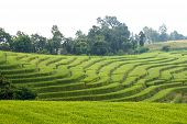 image of bong  - Green Terraced Rice Field at Ban Pa Bong Peay in Chiangmai - JPG