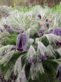 stock photo of pubescent  - Blooming Pulsatilla after rain on a cloudy day - JPG