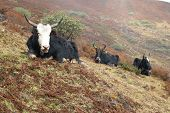 stock photo of yaks  - Tibetan yaks on grass field in the mountains - JPG