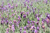 stock photo of lavender field  - Jagged lavenders - JPG
