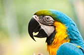 stock photo of parrots  - colorful Blue  - JPG