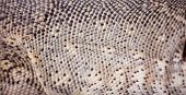 stock photo of lizard skin  - Texture of Nile monitor Varanus niloticus skin - JPG