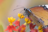 stock photo of monarch  - adult Danaus plexippus (Monarch) tasting the flowers. ** Note: Visible grain at 100%, best at smaller sizes - JPG