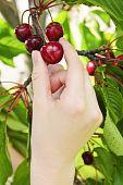 image of cherry-picker  - Hand picking fresh cherries from cherry tree - JPG