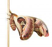 stock photo of atlas  - Isolated hanging male attacus atlas moth with clipping - JPG