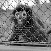 foto of caged  - black and white monkey in cage in the zoo - JPG