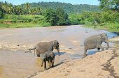 picture of bathing  - herds of elephants bathing in the river - JPG