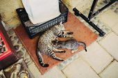 picture of lactating  - Mom cat breastfeeding kitten at the street - JPG