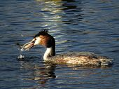 stock photo of caught  - This great crested grebe just caught a three - JPG