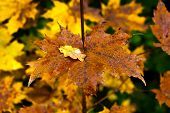 Постер, плакат: Golden and colorful maple leaves on a twig HDR toning
