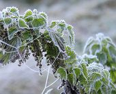 stock photo of nettle  - Frosted spider web nettle leaves in a meadow - JPG