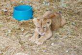 foto of manger  - Lion cub lying at manger Safari Park Taigan Crimea - JPG