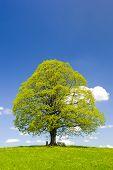 stock photo of linden-tree  - single big linden tree at spring in Bavaria Germany - JPG