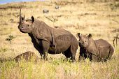 picture of rhino  - Black White Mother and Baby Rhino showing off the horns - JPG