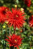 foto of rare flowers  - Beautiful rare dahlias in a botanical garden - JPG
