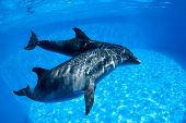 pic of oceanography  - Dolphins couple swims under the water and looking at the camera - JPG