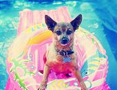 image of blowing  - a cute chihuahua mix sitting in a blow up tube in a pool during summer toned with a retro vintage instagram filter effect app or action  - JPG