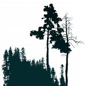 stock photo of coniferous forest  - Retro - JPG