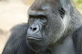 pic of gorilla  - Side face portrait of a gorilla male - JPG