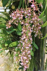image of epiphyte  - Epidendrum stamfordianum is an epiphytic orchid in the genus Epidendrum with mildly fragrant flowers which are long lasting - JPG