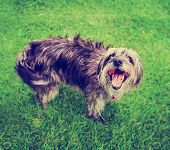 pic of spayed  - a cute terrier mix begging for a treat in a park or backyard lawn with very green grass toned with a retro vintage instagram filter effect app or action - JPG
