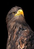 picture of eagles  - sea eagle  - JPG