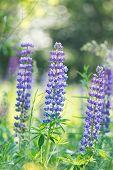 stock photo of lilas  - Wild lupines - JPG