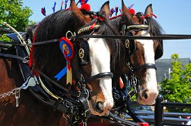 stock photo of headgear  - Shire horses with headgear and rosettes promoting Liverpool International Horse Show by Kings Dock Liverpool Merseyside England UK Western Europe - JPG