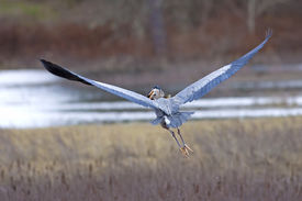 stock photo of crappie  - A heron flies off in a wetland area holding a crappie in its mouth after catching it - JPG