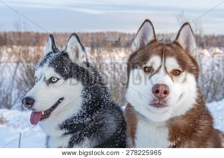 poster of Two Siberian Husky Dogs Looks Around. Husky Dogs Has Black, Brown And White Coat Color. Snowy White