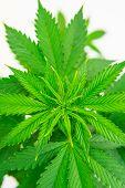Planting Cannabis. Hemp Flower Indoor Growing. Cannabis Grow Operation. Macro Shot. Home Grow Legal  poster
