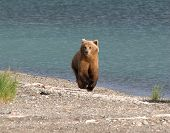 Young Bear By The River, Brown, River, Mammal poster