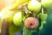 Close-up Of Lit By Bright Sun Brunch With Nice Big Ripe Green And Bad Rotten Apples In Orchard On So poster
