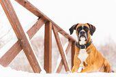Brown Pedigreed Dog Lying In The Snow On A Bridge. Boxer. Beautiful Hunter Dog poster