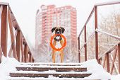 Brown Pedigreed Dog With Orange Circle Toy Staying On The Bridge On The Background Of Big House. Box poster