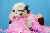 Dog Photo Shoot. Beautiful Maltese Dog with a Pink and White feather boa in a dog bed with a blue se poster
