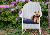 Welsh Terrier Relaxing On Blue Pillow In White Wicker Chair In Rhododendron Garden poster