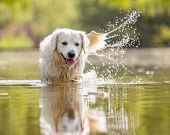 A White Golden Retriever Walking Through A Lake . Lots Of Splashing. From The Front On A Sunny Day.  poster
