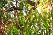 Beautiful 2 Black Crows Flying In A Green Forest With Visible Sunray poster