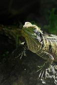 picture of tuatara  - One of the world - JPG